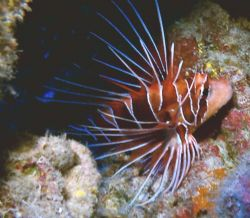 Reticulated Lion fish. Nokinos V